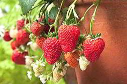 Домашняя ягодница клубника высший сорт