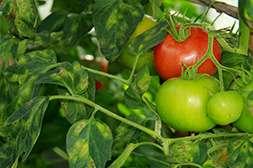 Агроплант удобрение защищает растения от болезней